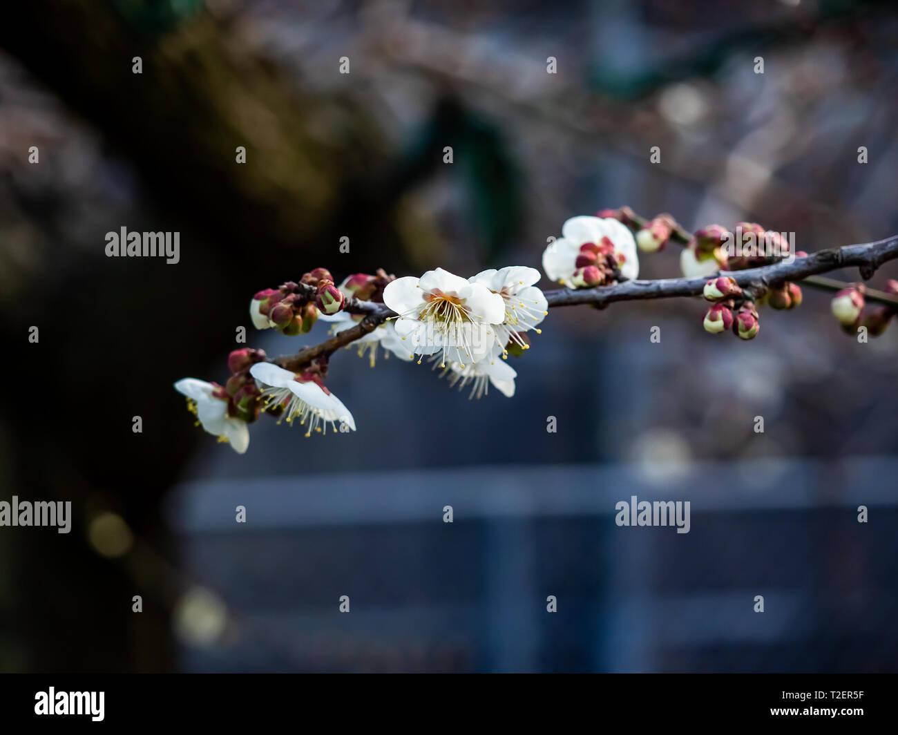 Pflaume Blüten öffnen auf einem japanischen Pflaumenbaum Ende Februar. Diese schöne kleine Blumen Signal den kommenden Frühling. Stockbild