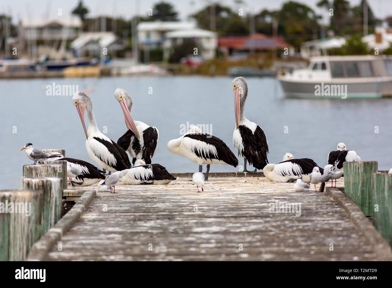 Pelikane auf Tyrannen Steg auf der Fleurieu Peninsula Goolwa South Australia am 3. April 2019 Stockfoto