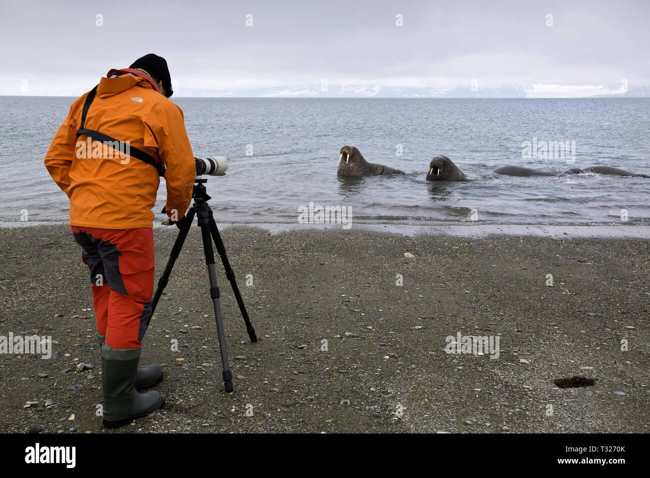 Fotografen, Bild der Atlantischen Walross, Odobenus rosmarus, Spitzbergen, Arktis, Norwegen Stockfoto