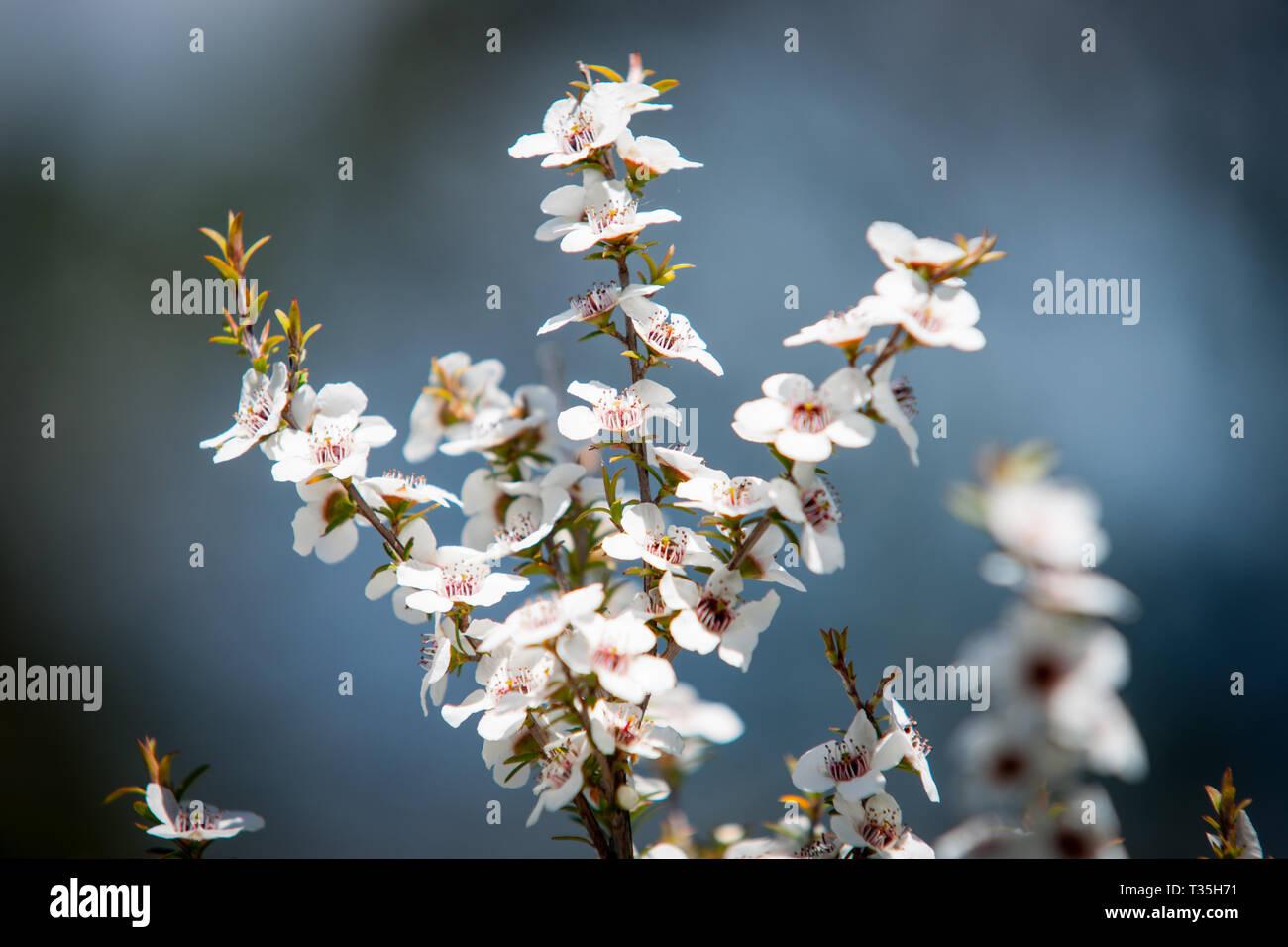 Blühende Pflanze in die myrte Familie Neuseeland manuka in voller und produktivsten saisonale Frühling blühen. Stockbild