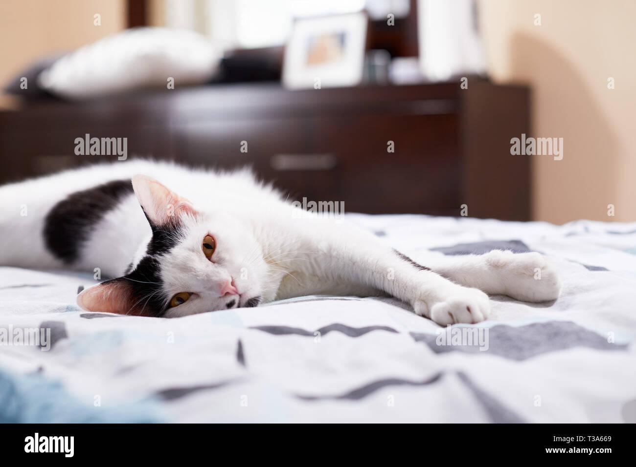 Eine weiße Katze mit schwarzen Markierungen und gelbe Augen ist entspannend auf einem Bett mit seinen Pfoten vorwärts Stockfoto