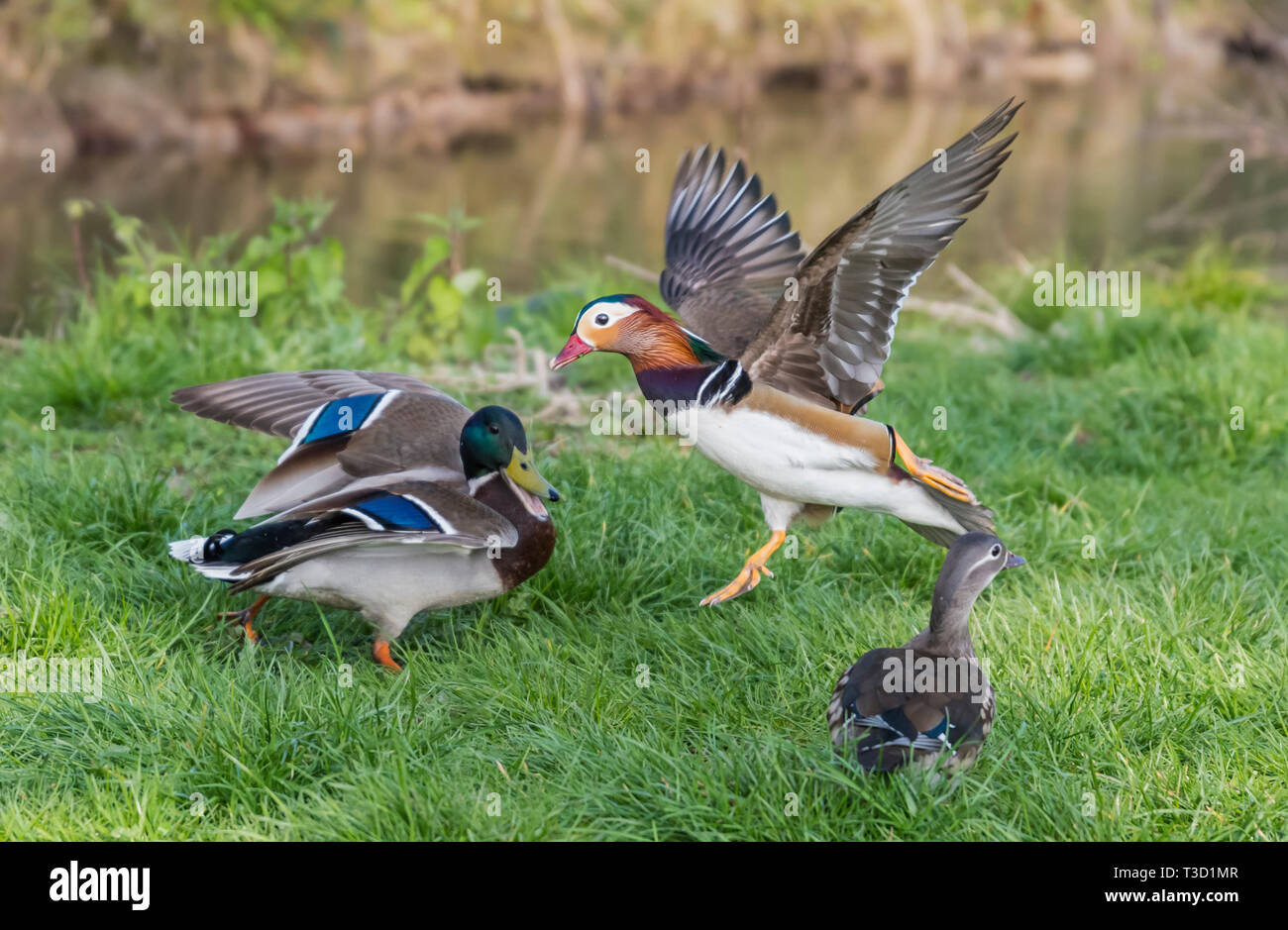 Wildlife Konfrontation zwischen einer Stockente und eine Mandarinente im Frühjahr in West Sussex, UK. Stockbild