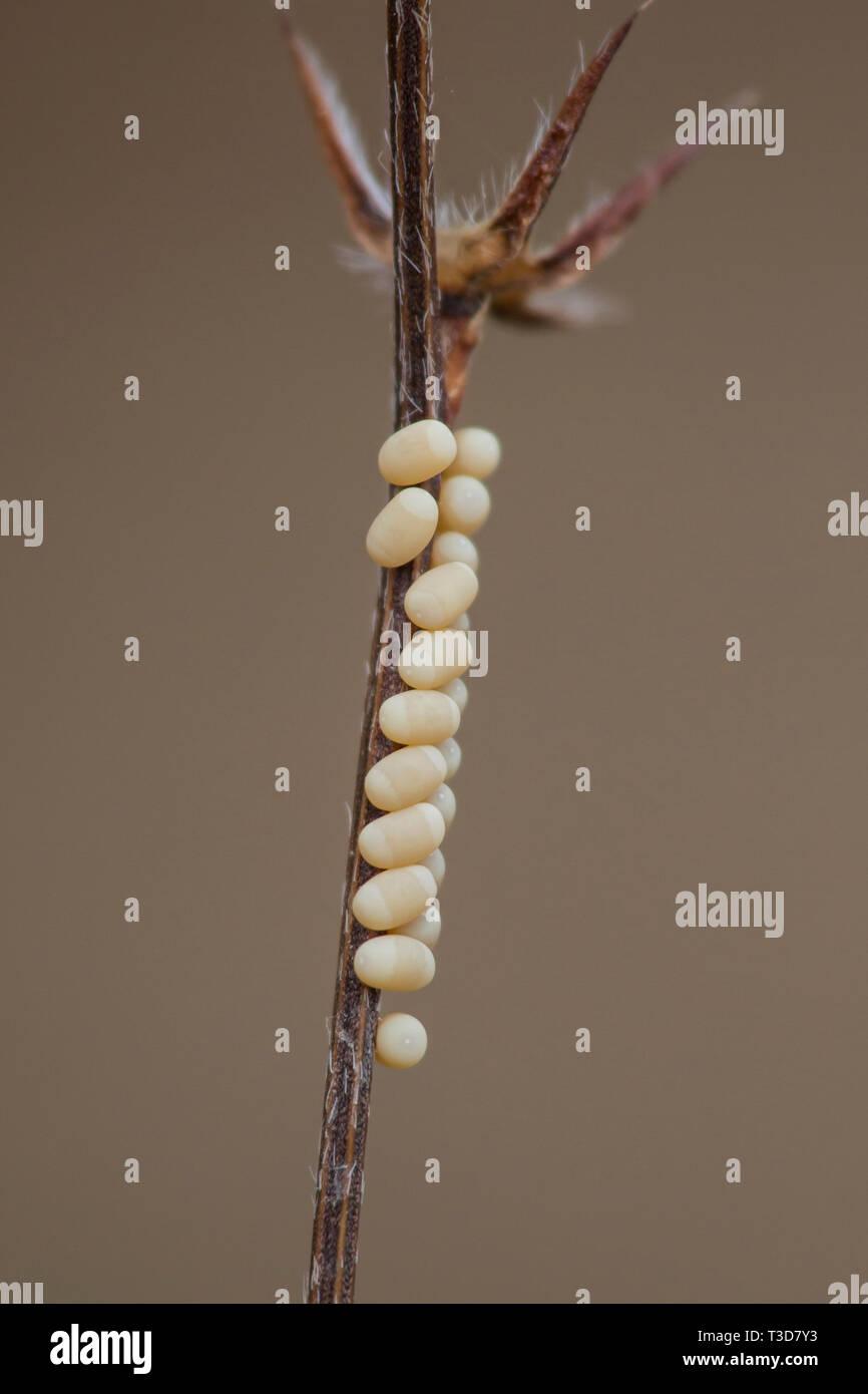 Schmetterlingshaft - Eier, Libelloides rhomboides ssp. cretensis, Owlfly - Eier Stockbild