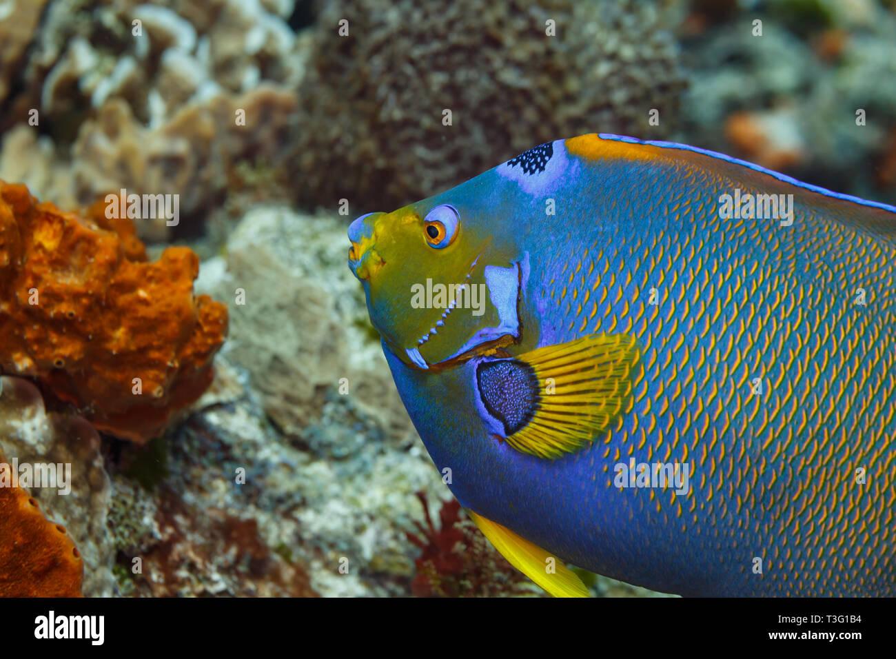 Nahaufnahme von Seite der blauen, gelben Schwanz und Fin einer Königin Angel Fish, Holacanthus ciliaris Stockbild
