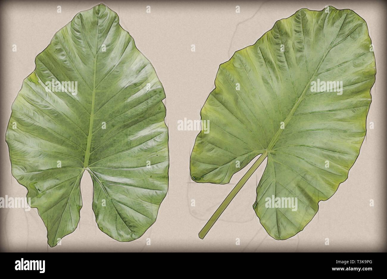 Großartig ! ELEFANTENOHR ein tropische Zimmerpflanze mit Riesen Blättern