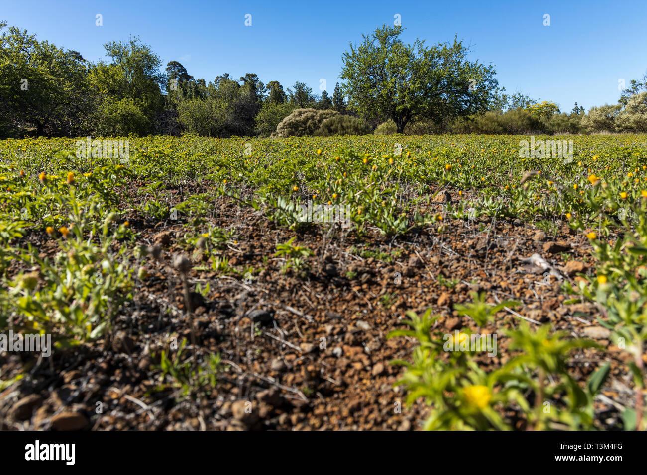 Unkraut und Almond Tree auf einem verlassenen landwirtschaftlichen Terrasse in der Nähe von Arguayo, Santiago del Teide, Teneriffa, Kanarische Inseln, Spanien Stockbild