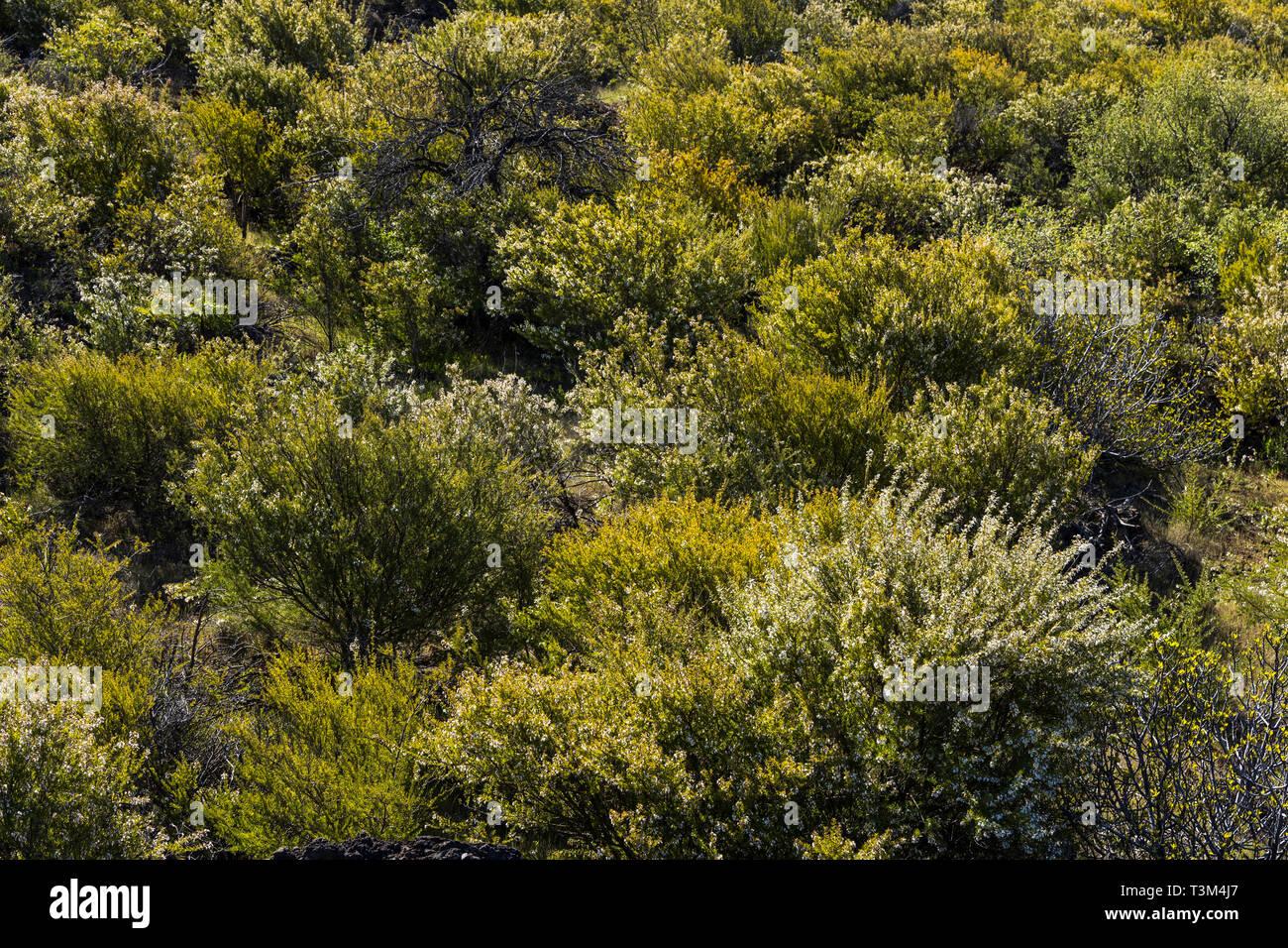 Dichter Wuchs mit Retama raetum, Mandelbäumen, in der Nähe von Arguayo, Santiago del Teide, Teneriffa, Kanarische Inseln, Spanien Stockbild