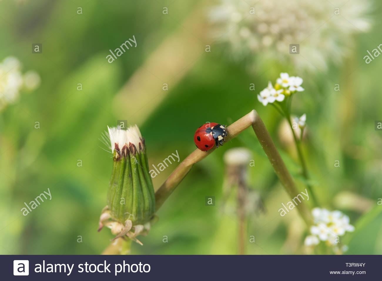 Nahaufnahme Von Roten Marienkäfer Auf Weißem Löwenzahn Blume