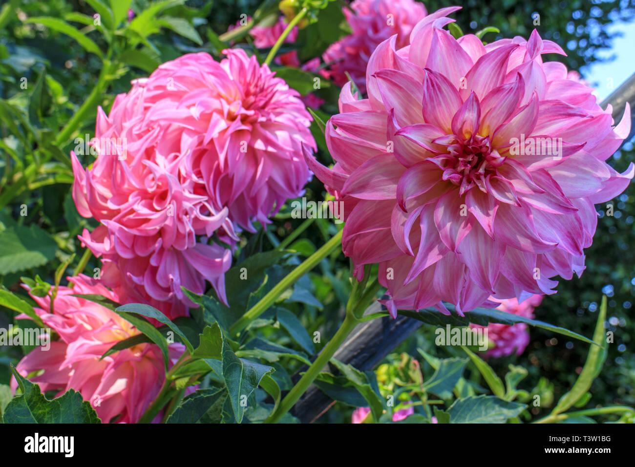 Nahaufnahme von Dahlia Blumen Stockbild