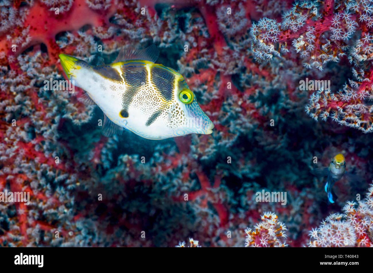 Filefish Paraluteres prionurus] [nachahmen. Komodo National Park, Indonesia. Stockbild