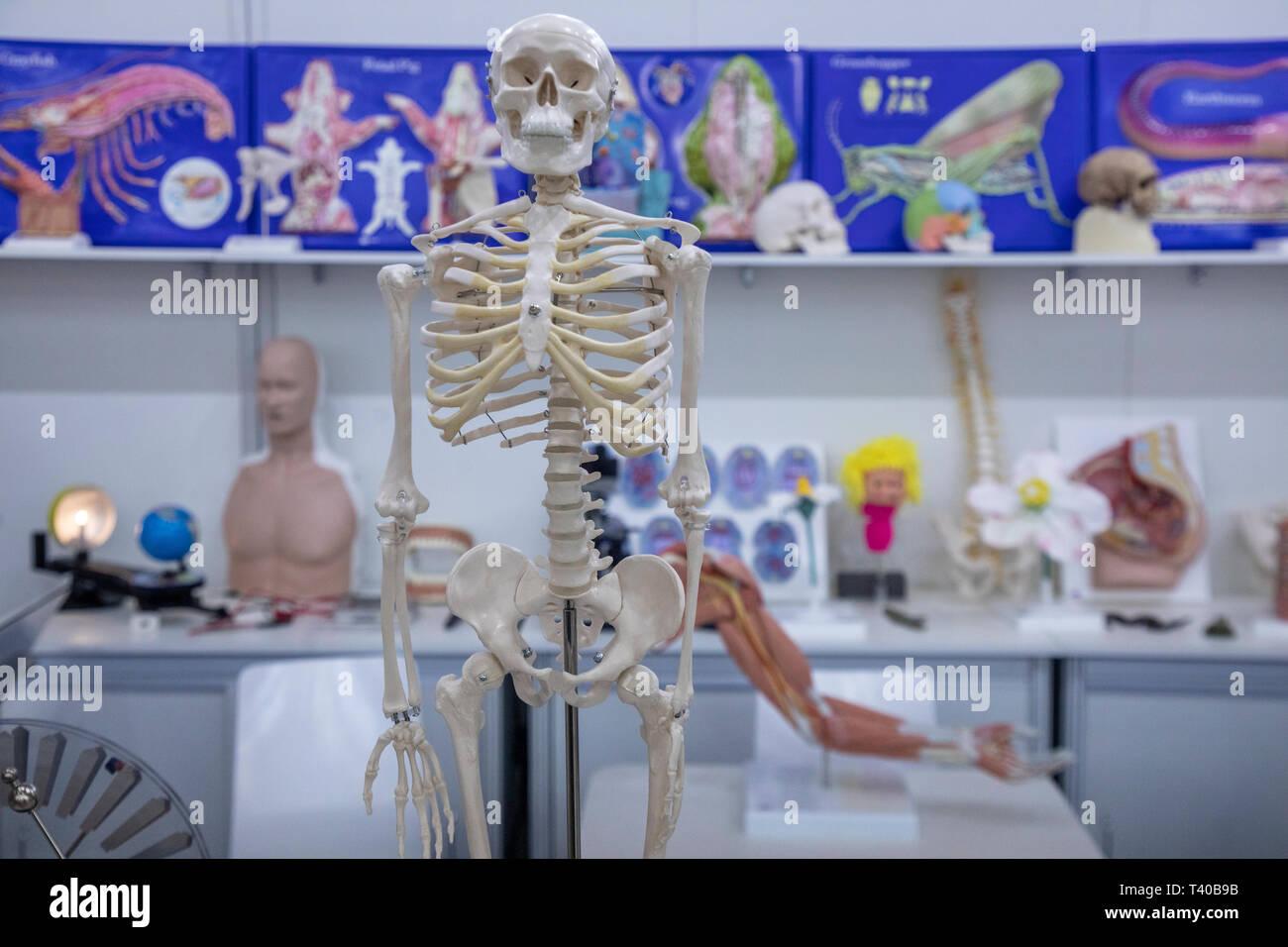 Ein Modell des menschlichen Skeletts auf einer Ausstellung Stockbild