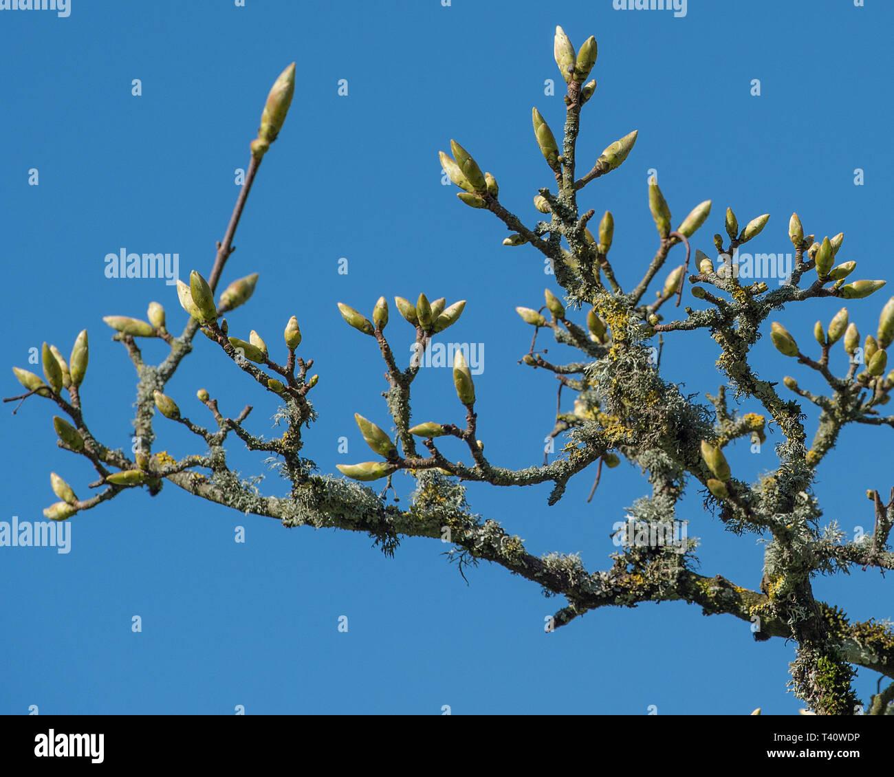 Esche knospen im Frühling Stockbild