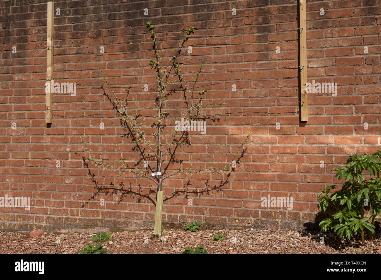 Ausbildung einen Obstbaum gegen eine Wand. Stockbild