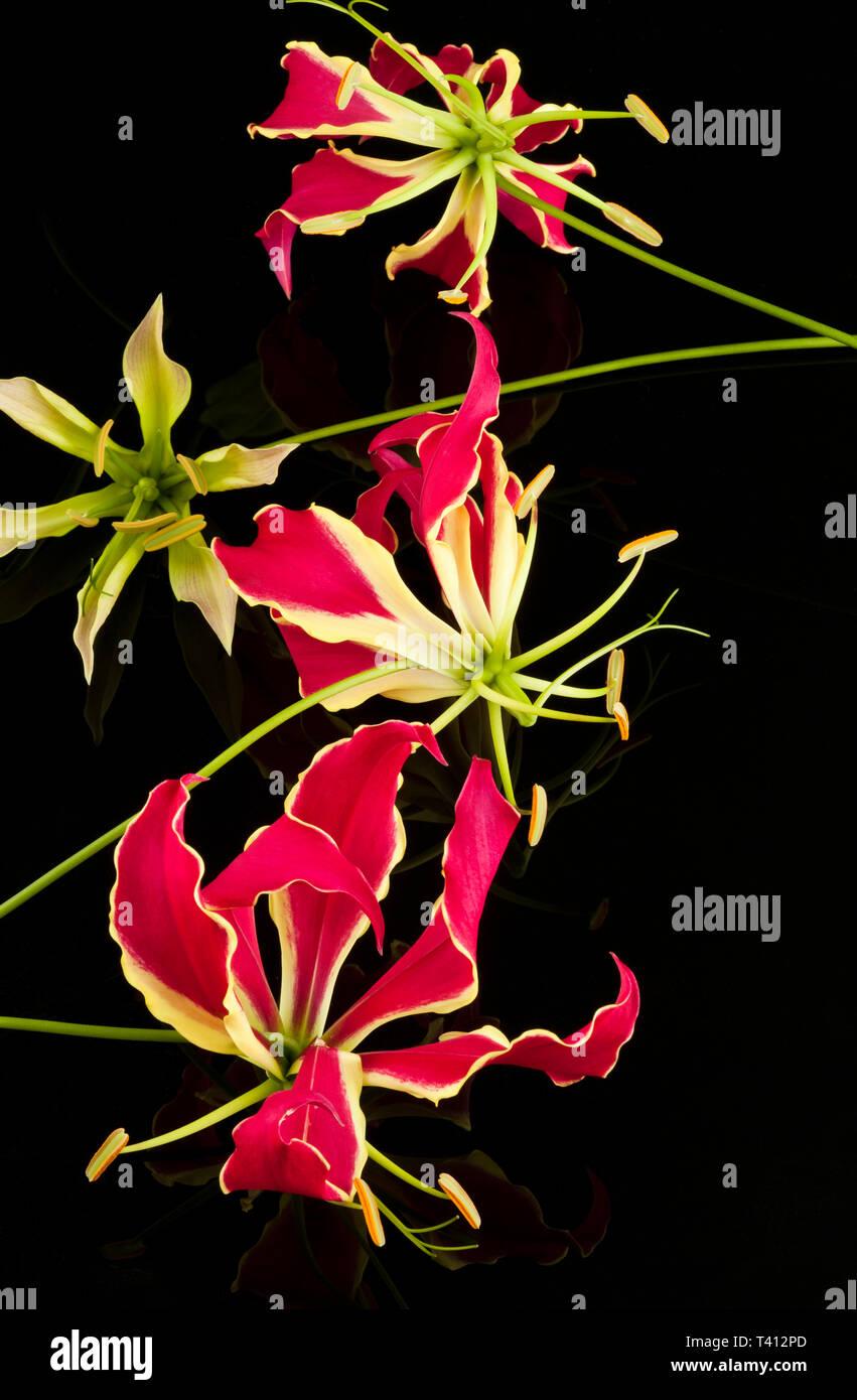 Gloriosa Lillies Stockbild