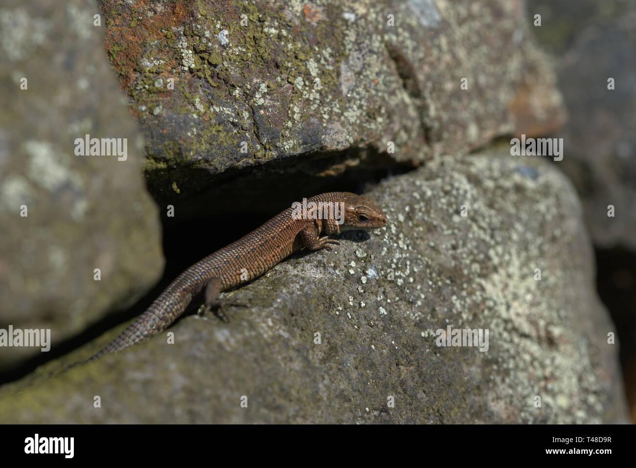 Gemeinsame Eidechse auf einem trockenen Steinmauer Stockfoto