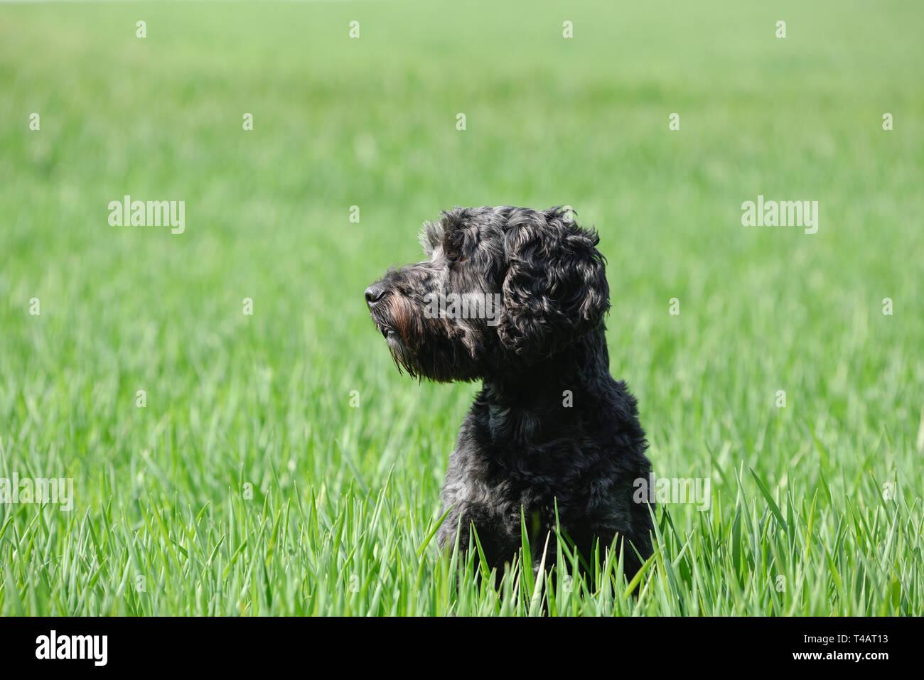 Schwarze männliche Cockapoo Hund in ein grünes Feld. Stockfoto