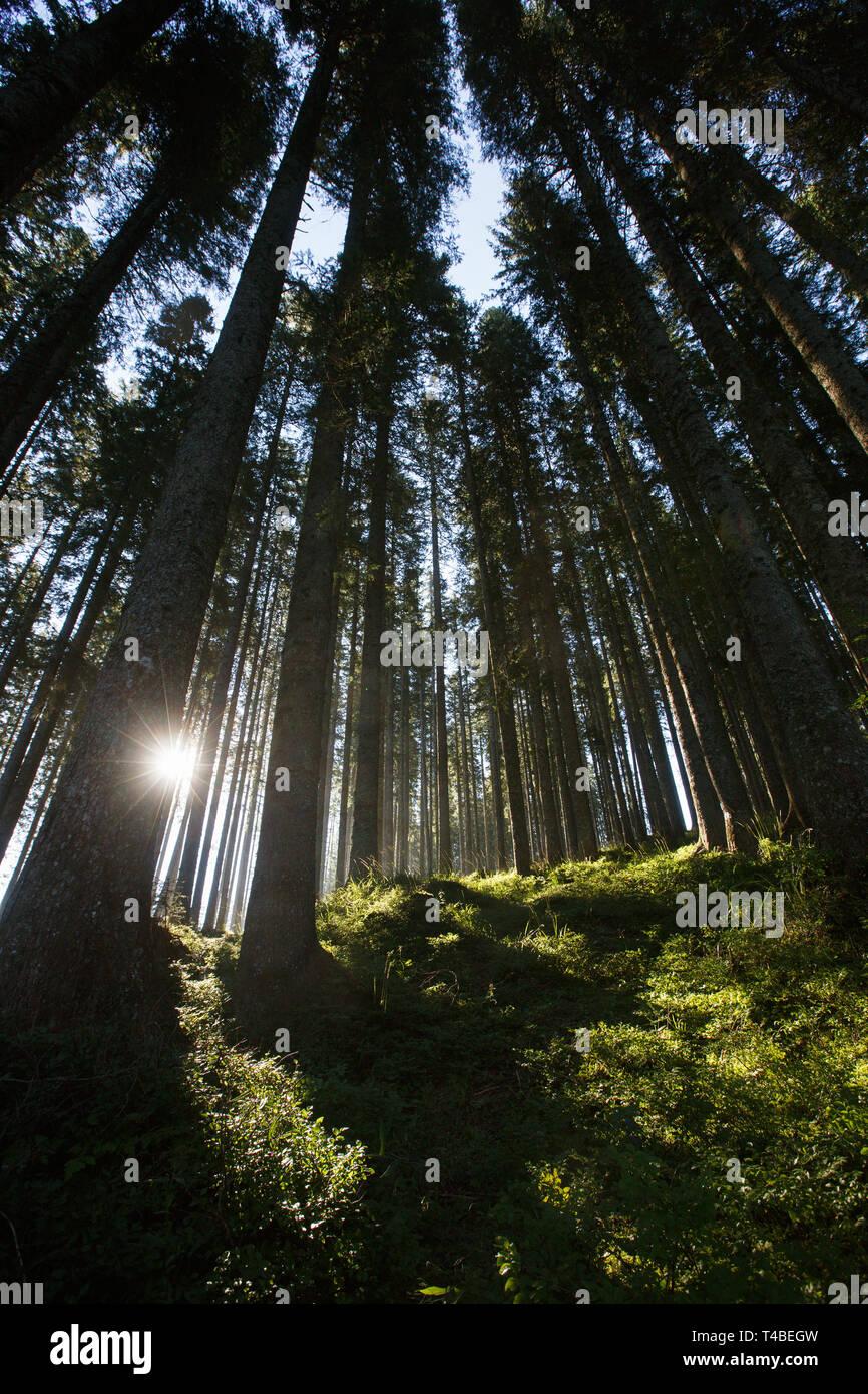 Üppigen und gesunden Wald am Morgen Sonnenschein mit dichtem Unterholz Fichte. Eine nachhaltige Industrie, umweltfreundliche Forstwirtschaft, natürlichen Umgebung anhand von quantitativen Simulatio Stockbild