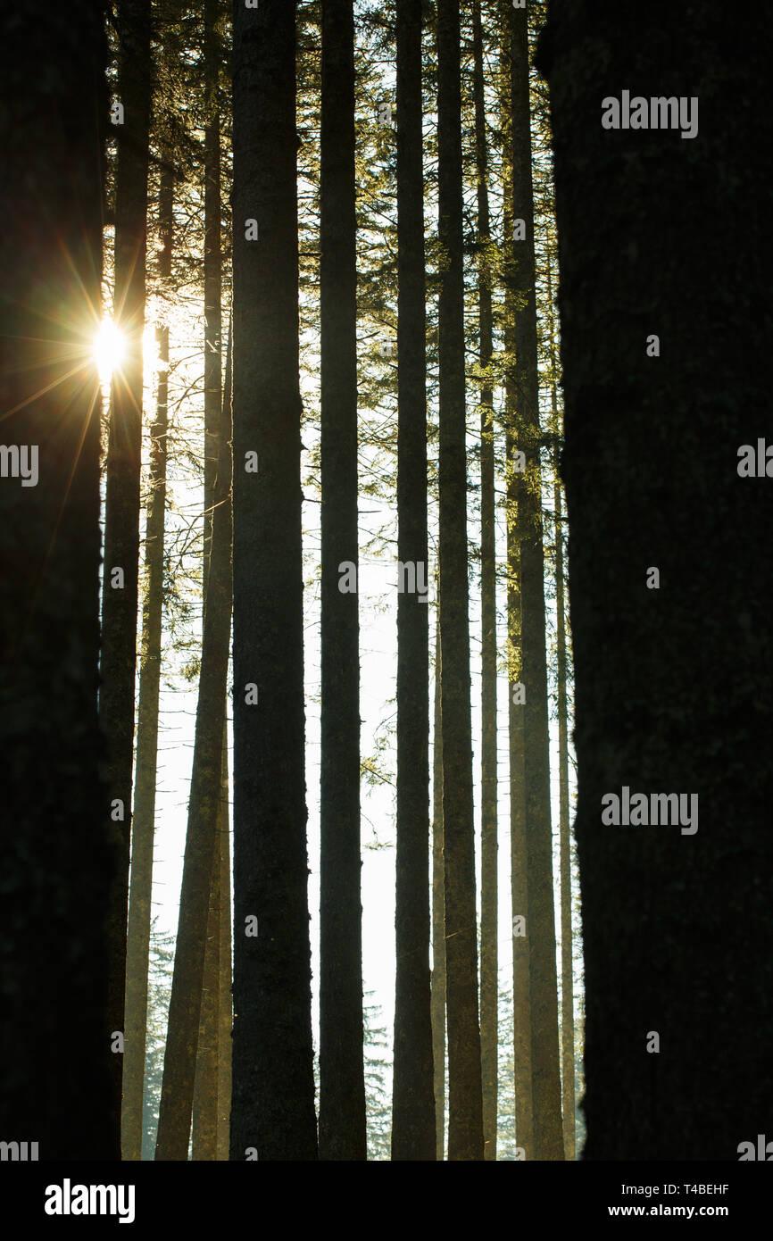Wald von Bäumen und Trunks in der Morgensonne Fichte. Eine nachhaltige Industrie, umweltfreundliche Forstwirtschaft, Ruhe und Achtsamkeit Konzept und Text Stockbild