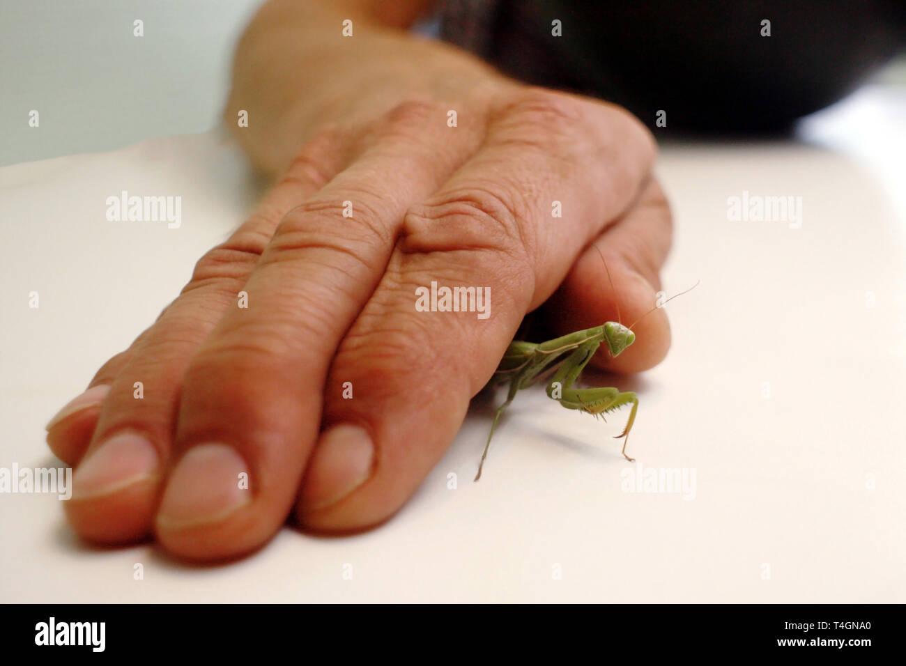 Mantis Insekt unter dem erwachsenen Mann hand Stockbild