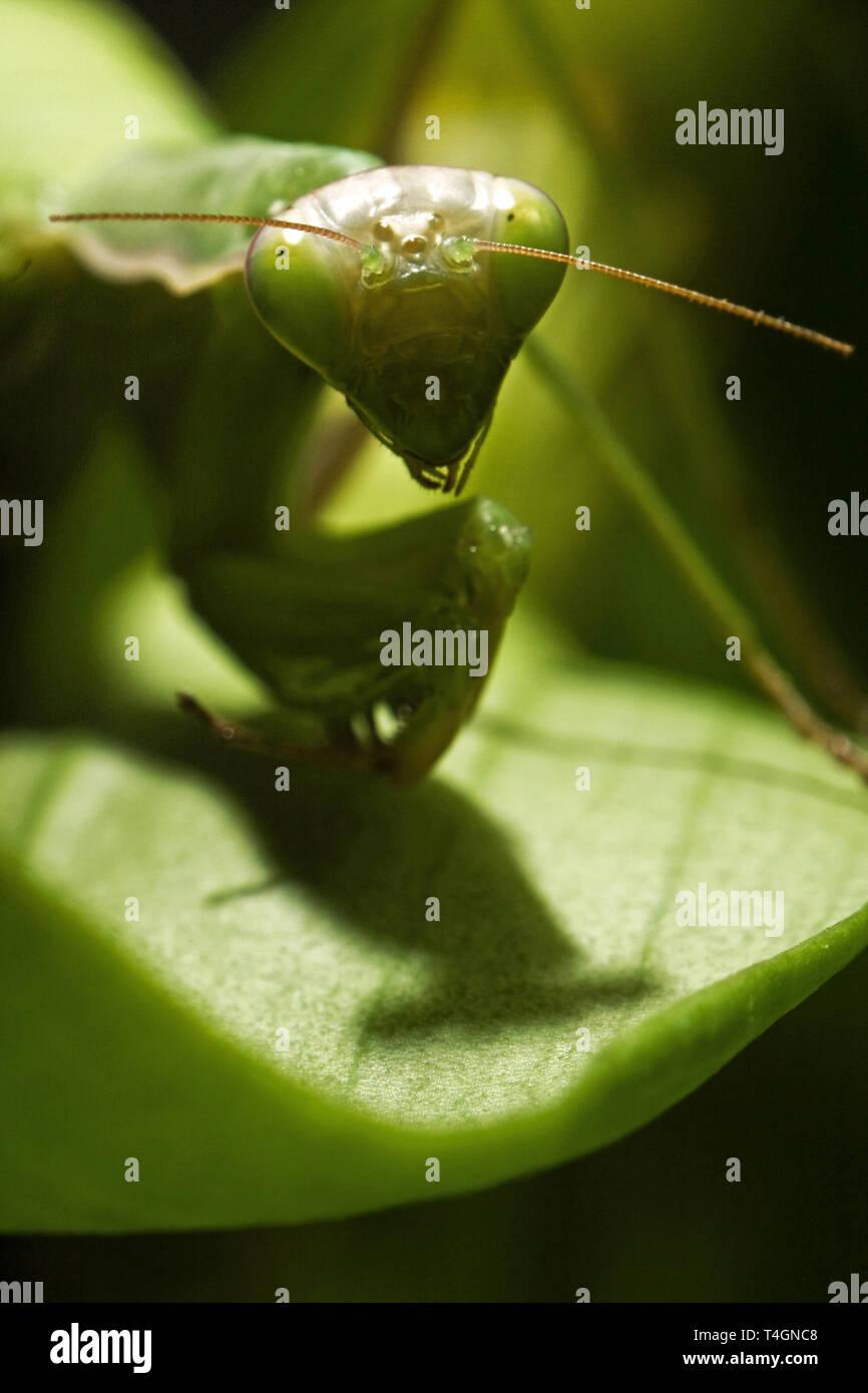 Mantodea, Mantis grün Insekt sind Standortwahl auf Blatt Stockbild