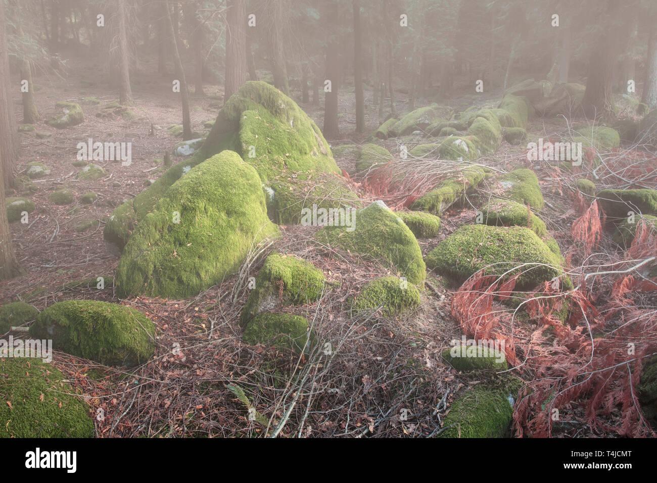 Tiefe nebligen Wald Steine mit Moos im frühen Morgenlicht abgedeckt. Stockfoto