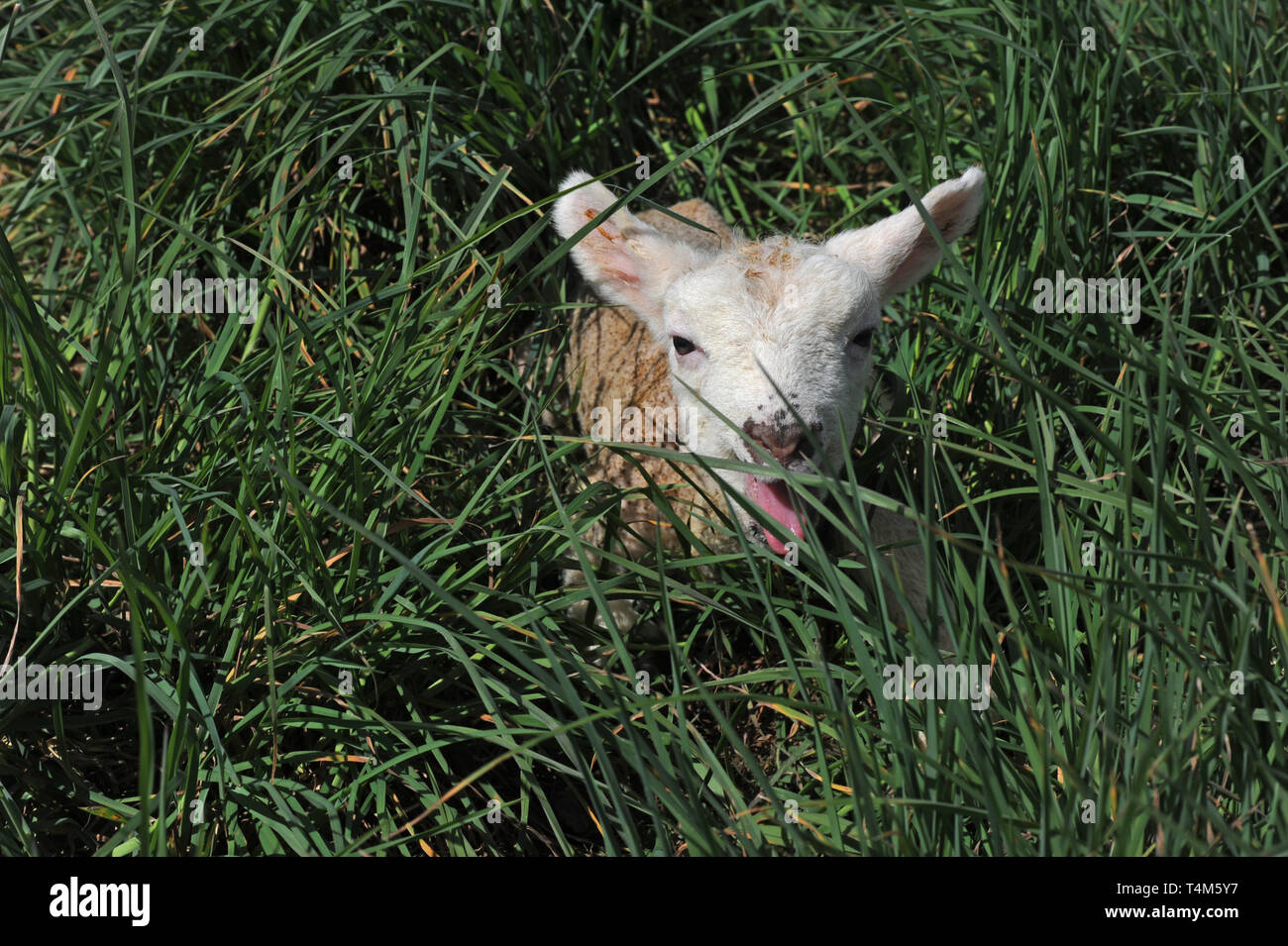 Neugeborene Lamm in der Wiese Stockbild