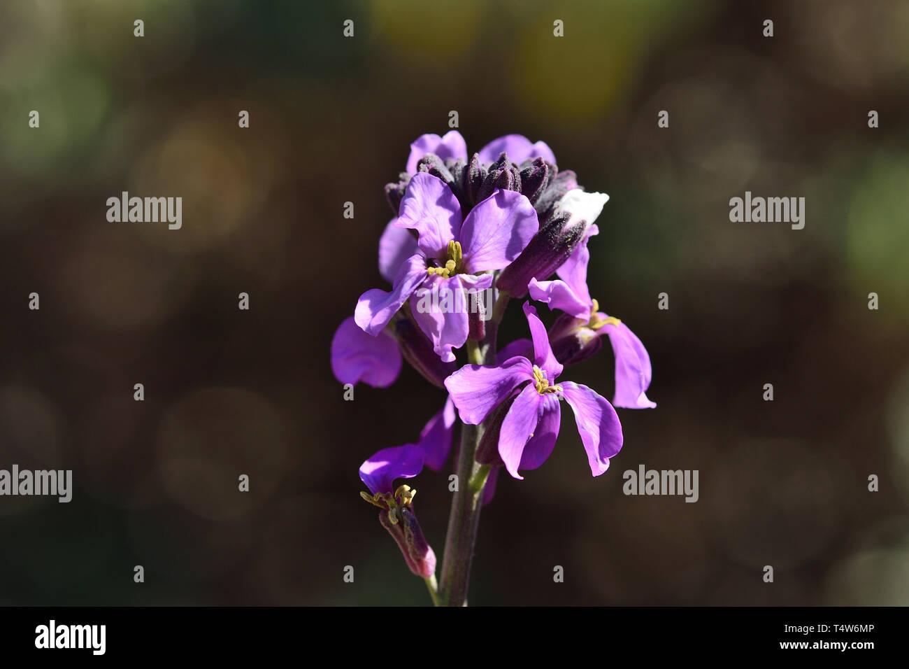 Nahaufnahme eines erysimum scoparium Blume in voller Blüte Stockbild