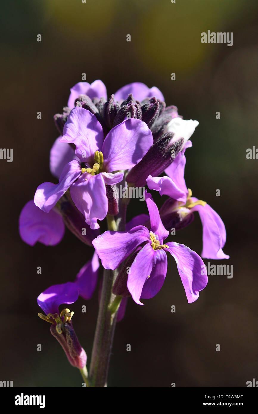 Nahaufnahme eines erysimum scoparium Blume in voller Blüte Stockfoto