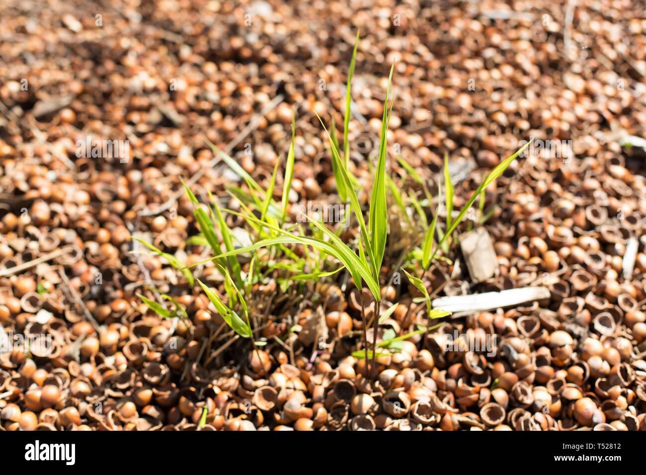 Hakonechloa Macra Japanischen Wald Gras Mit Haselnuss Shell