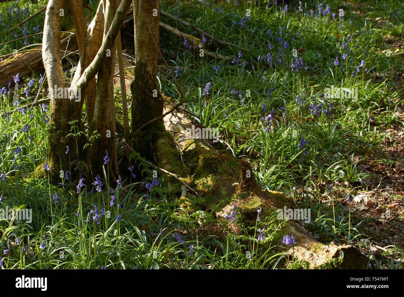 Feder Bluebell Blumen im Wiedererwachen Woodland Stockbild