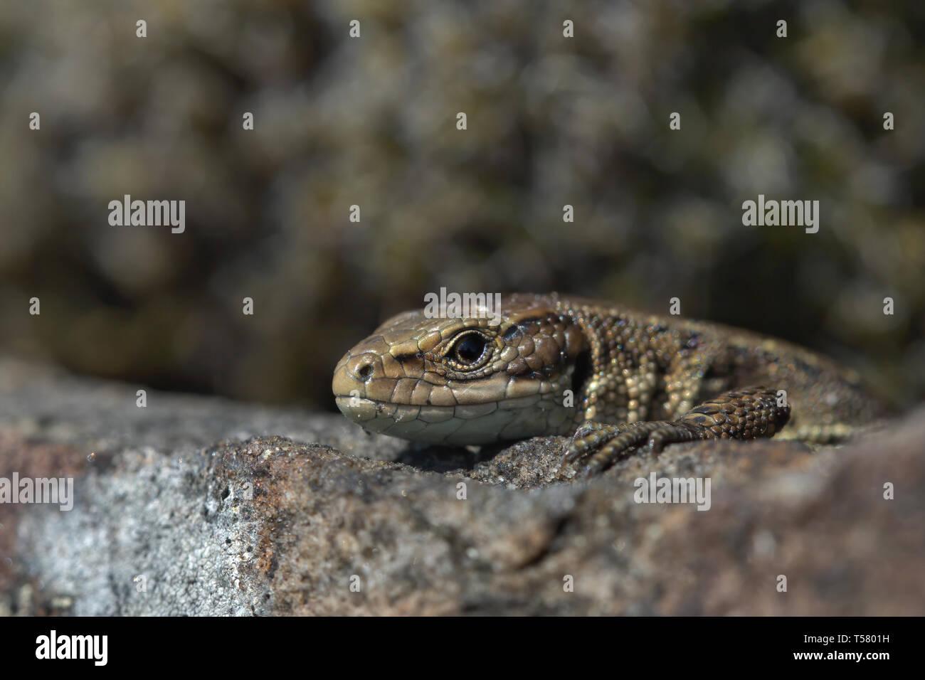 Gemeinsame Eidechse auf einem trockenmauern Wand Stockfoto
