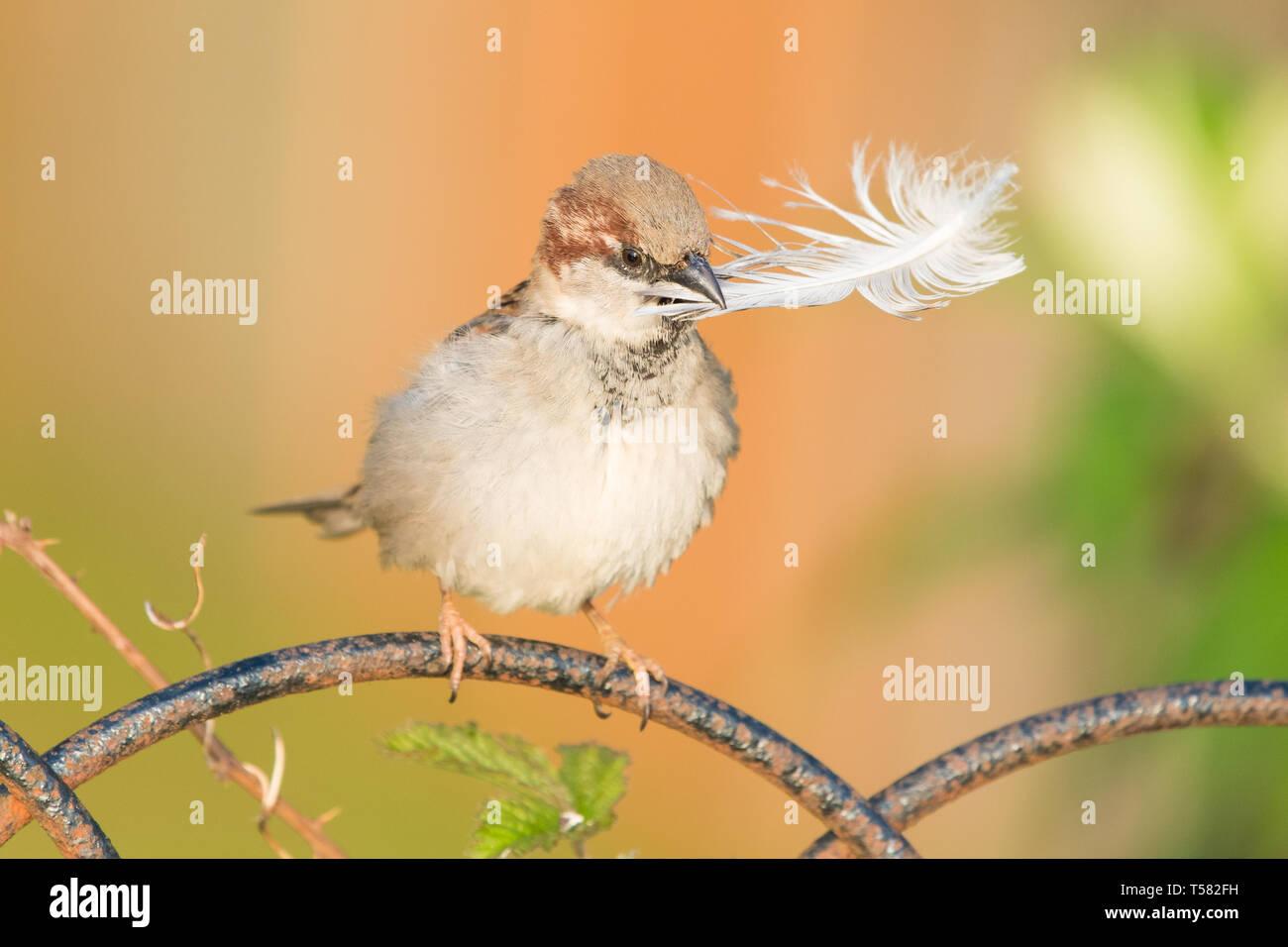 Männliche Haussperling Passer domesticus - Sammeln von Nestmaterial, große Feder in seinem Schnabel - Schottland, Großbritannien Stockbild