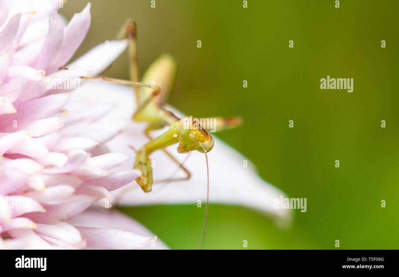 Makroaufnahme eines jungen Gottesanbeterin auf eine rosa Blume Stockbild