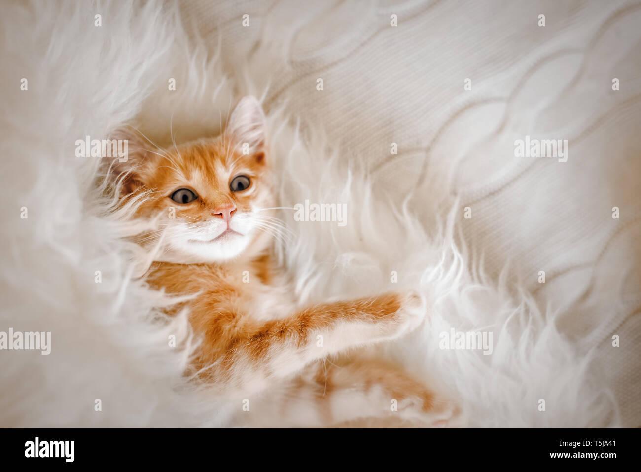 Niedlich Ginger Kitten Am Morgen Liegen Auf Einem Fell