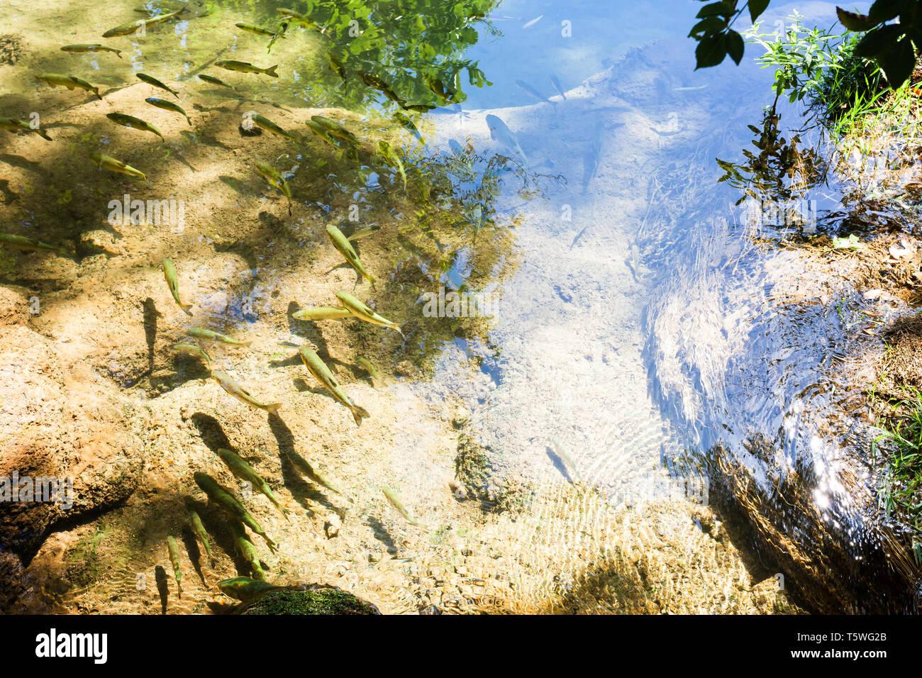 Krka, Sibenik, Kroatien, Europa - Forellen schwimmen langsam genießen die warme Sonne Stockfoto