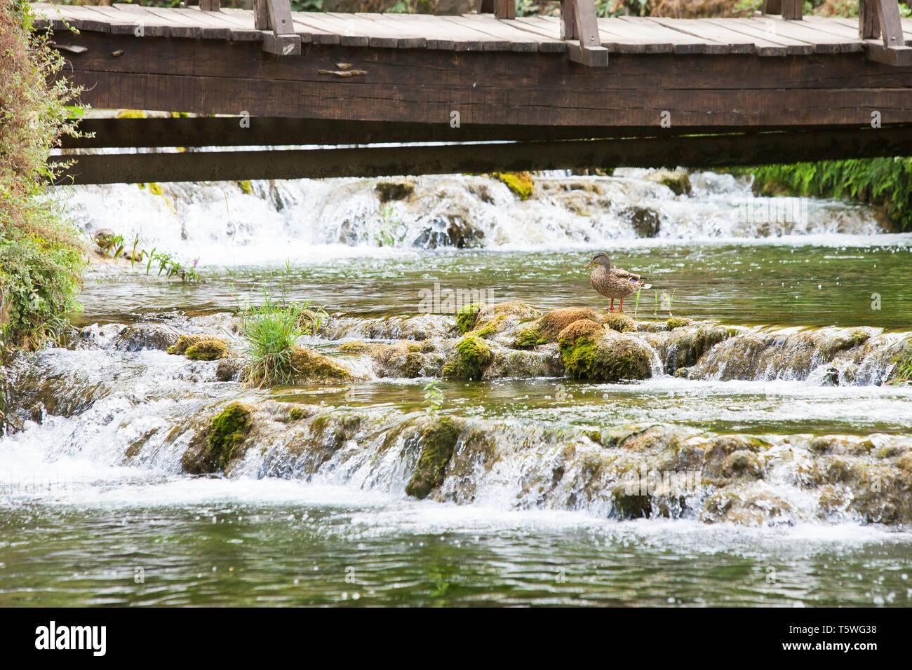 Krka, Sibenik, Kroatien, Europa - eine Ente auf einem Stein mit einigen Fluss Kaskaden Stockfoto