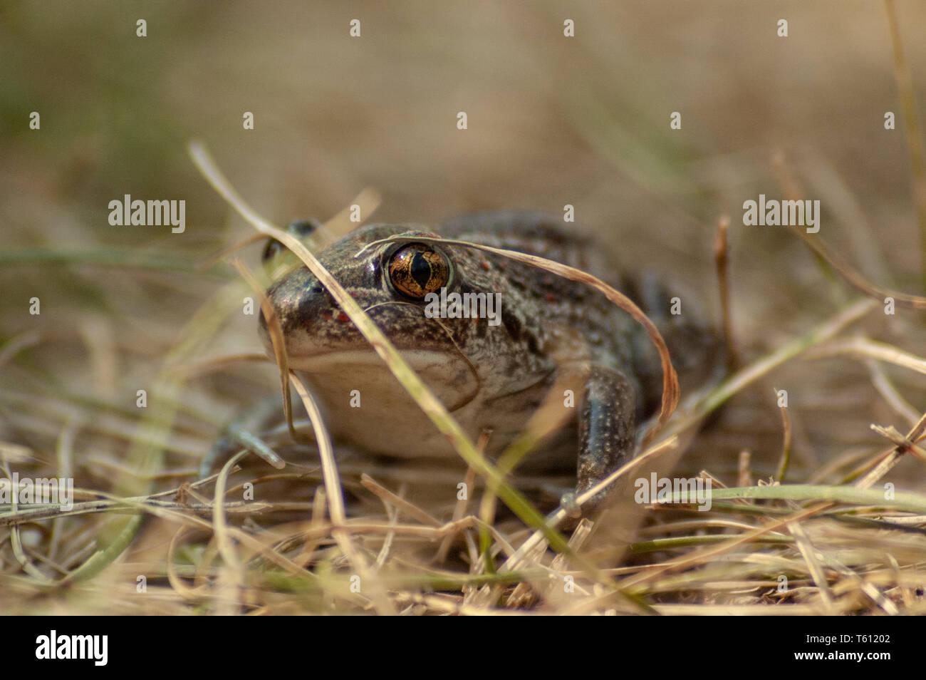 Eine kleine Knoblauch Kröte sitzt im Gras und schaut in die Kamera Stockfoto