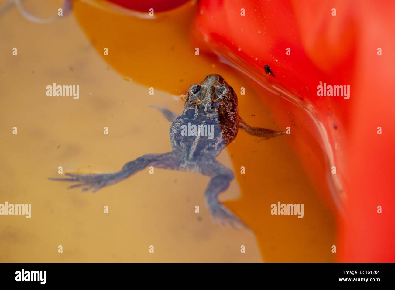 Eine kleine Knoblauch Kröte schwebt in einem Wasserbecken Stockfoto
