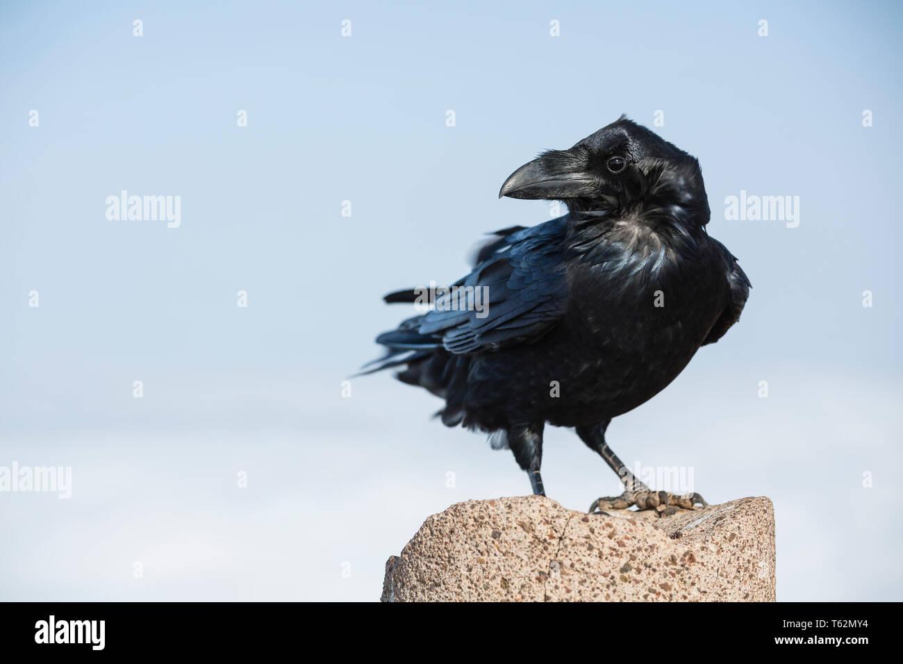 Eine schwarze Krähe auf dem Gipfel des Pico Birigoyo Spalte in La Palma, Spanien. Stockbild