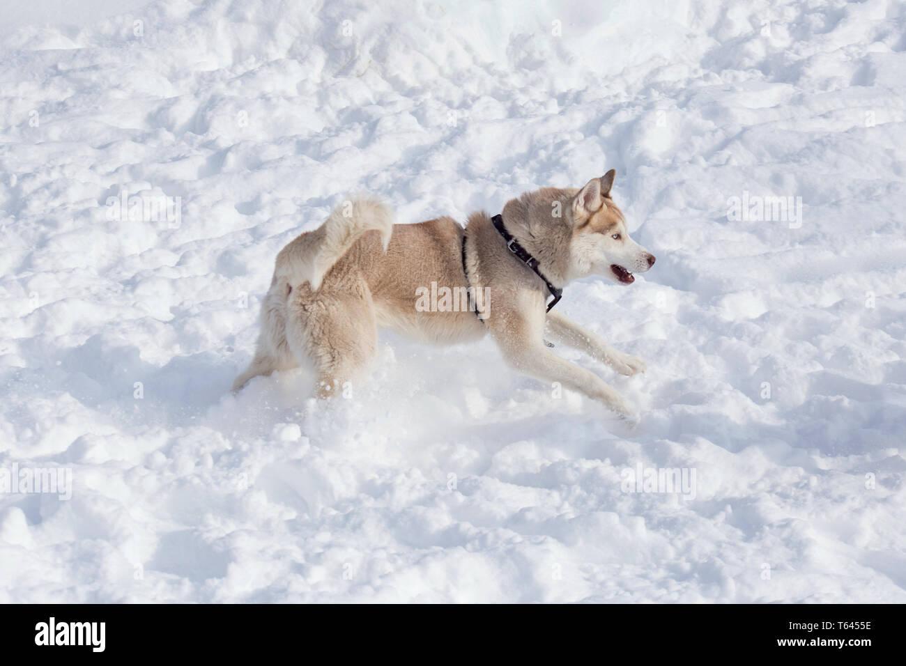 Weihnachten Husky Hund Welpen Schlitten Schnee Bäume Weiß Doppel 6 Stück Bettwaren, -wäsche & Matratzen