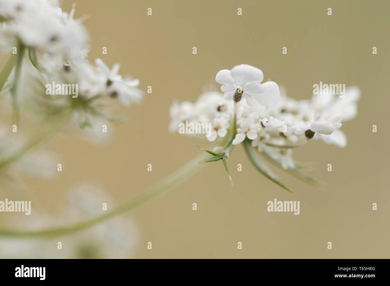 Wilde Möhre (Daucus carota Subsp carota), Deutsch Stockbild