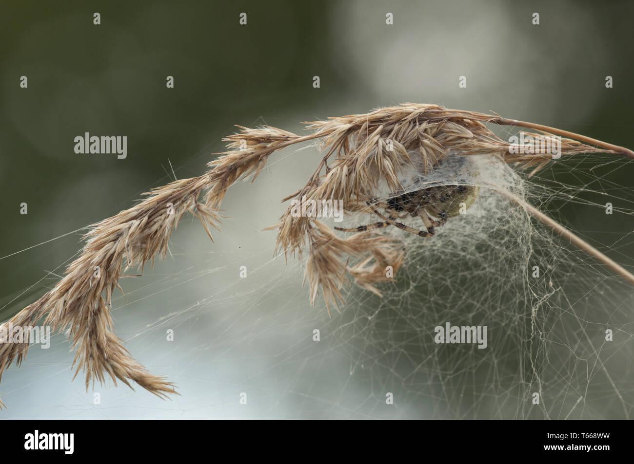 Vier Spots orb-Weaver (Aran, Land Brandenburg, Deutschland Stockbild