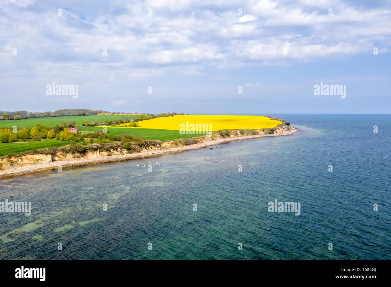 An der Steilküste von Boltenhagen der Raps blüht in hellem Gelb Stockfoto
