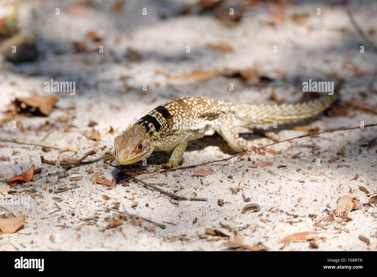 Gemeinsame kleine collared iguanid Lizard, Madagaskar Stockfoto