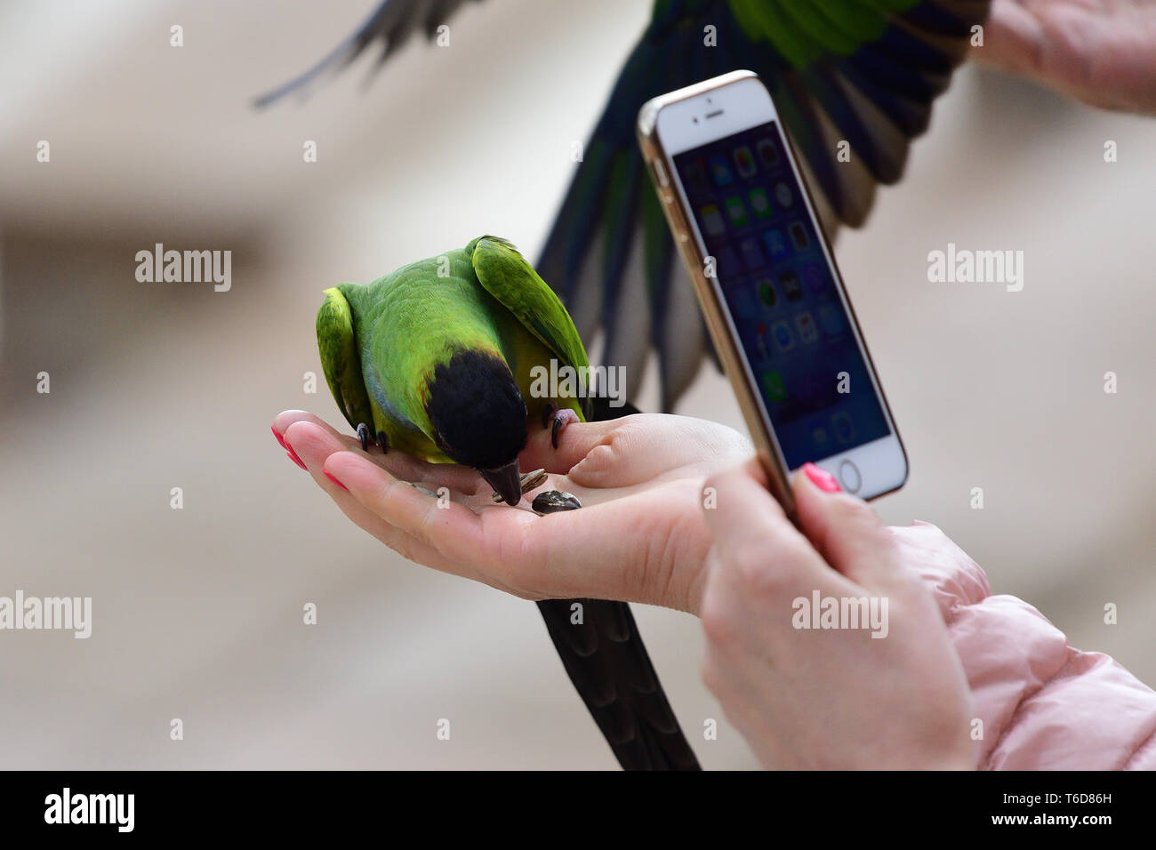 Porträt einer Person, die ein Foto von einem nanday parakeet (aratinga nenday) samen Essen aus einer Hand Personen Stockfoto