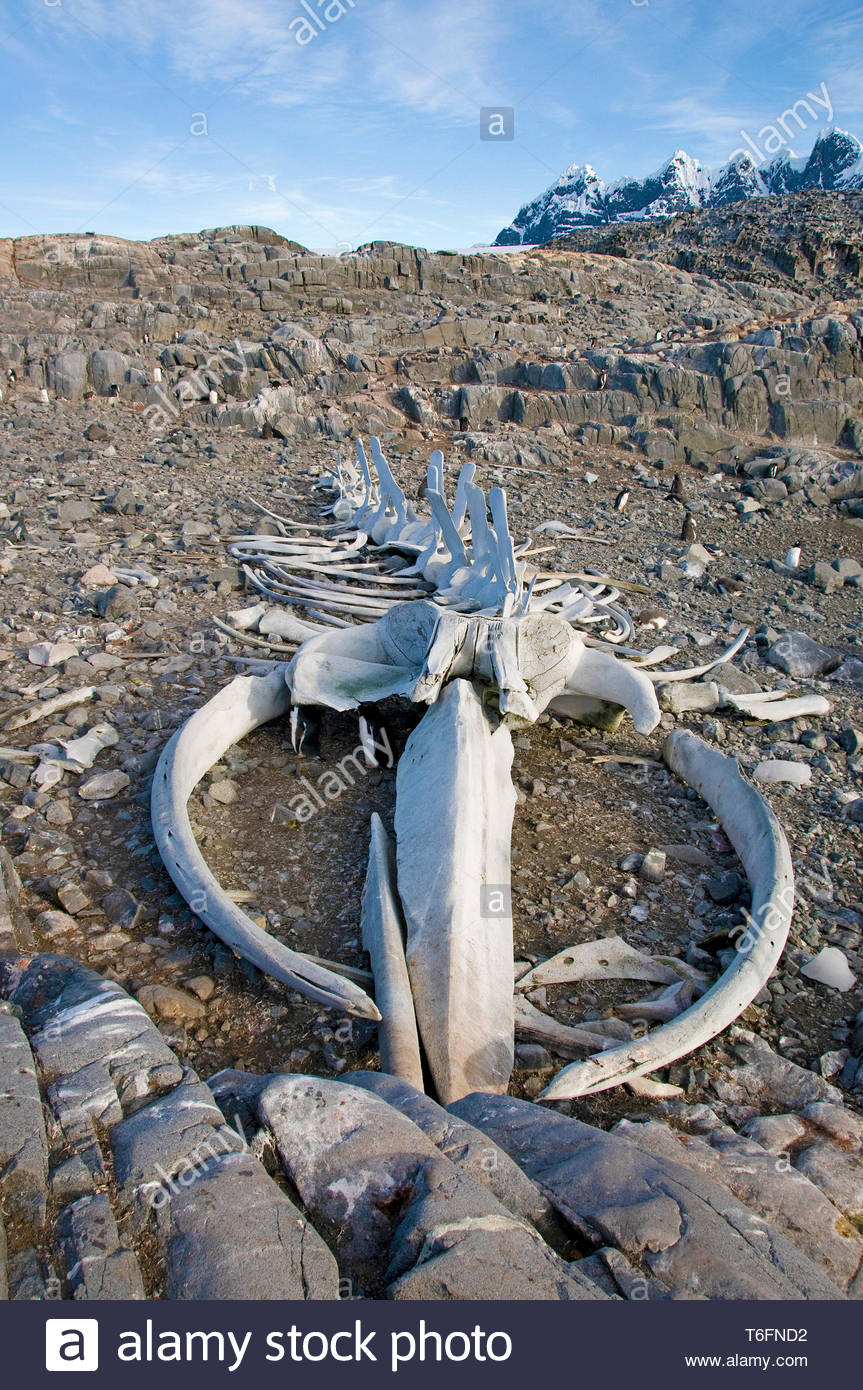 Walskelett an der Küste von Goudier Insel, Antarktis | Whale Skelett an der Küste von Goudier Insel, Antarktis Stockfoto