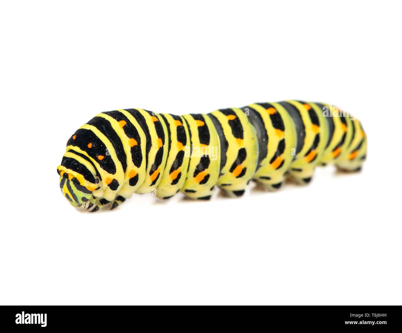 Gelb Schwarz swallowtail Caterpillar auf weißem Hintergrund Stockbild