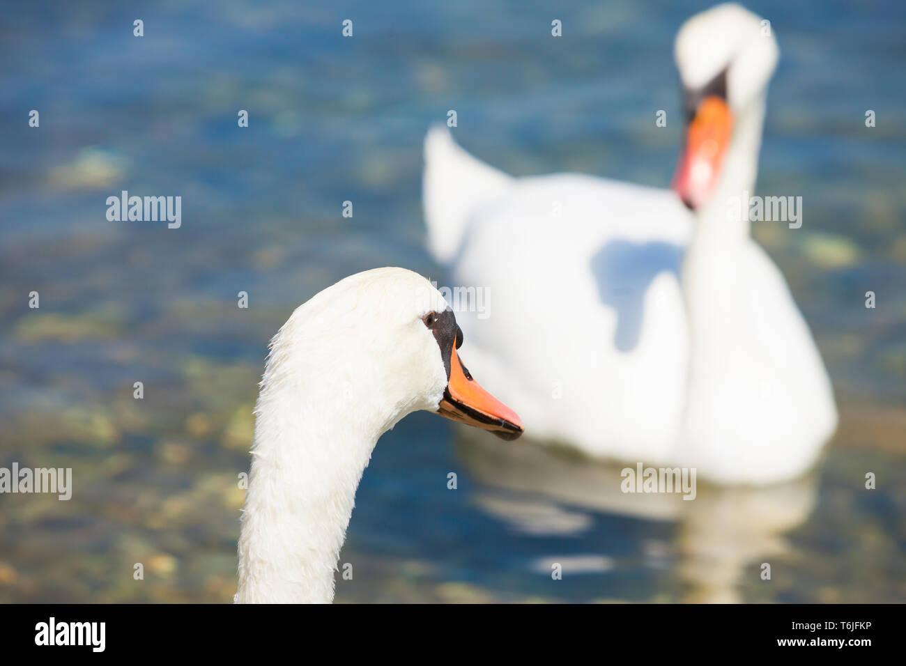 Neuruppin, Sibenik-Knin, Kroatien, Europa - ein Schwan cob auf einer Swan pen suchen Stockfoto