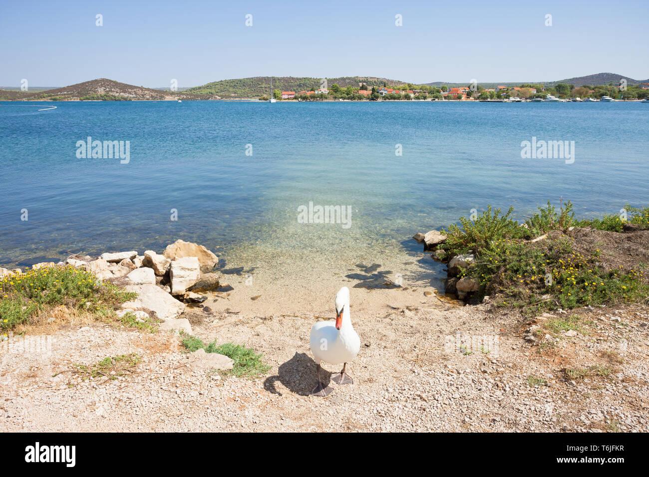Neuruppin, Sibenik-Knin, Kroatien, Europa - ein Schwan als gate keeper Stockfoto
