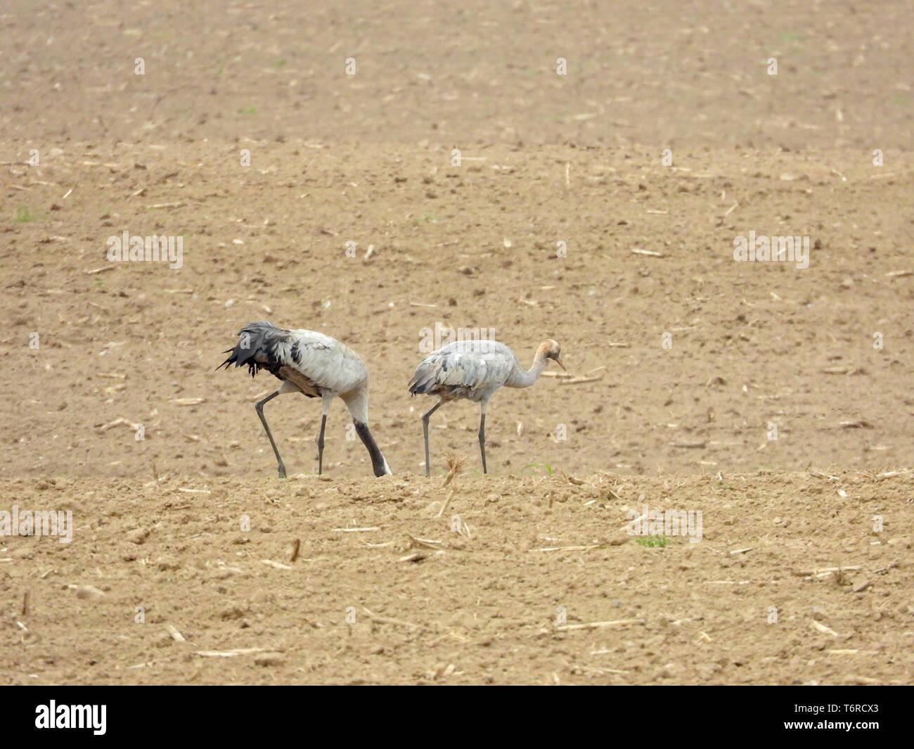 Eine Gruppe von Kranen auf der Suche nach Essen auf einem gepflügten Feldes Stockfoto